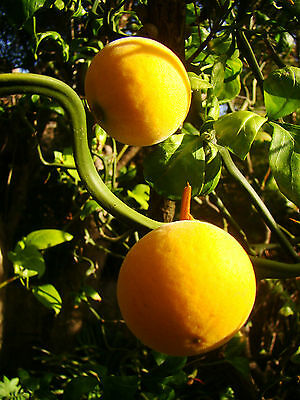 Rare Fruit, Hardy Citron, Poncirus Flying Dragon, Twisted, Floraison Arbuste