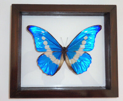 """Real Framed Butterfly Blue Peruvian Morpho Helena Mounted Double Glass 6.5""""x7.5"""""""
