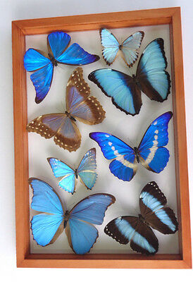 Amazing Family Morphidae Framed Collection 8 Real Butterflies Mounted Double Gla