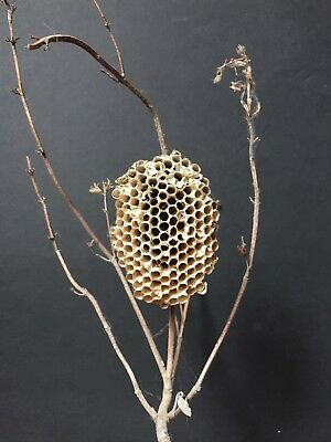 Real Natural Wasp Nest on Branch / biology entomology display taxidermy