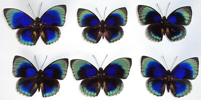 Agrias Beata Beatifica Unmounted Lot Of 6 Rare Special Forms A1 Condition * Wow*