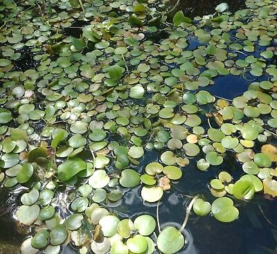15 Floating Aquatic Frogbit Floating plants for Water Feature, Aquarium or Pond