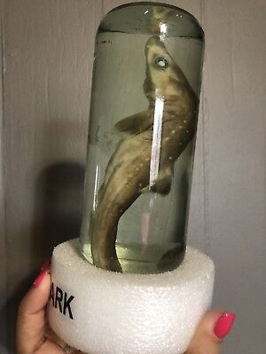 Real Baby Shark in a Bottle Jar Preserved Specimen Science Fun