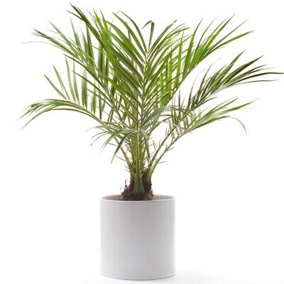 Money Tree / Feng Shui Plant / Good Luck Tree + FREE 1 Plant Food