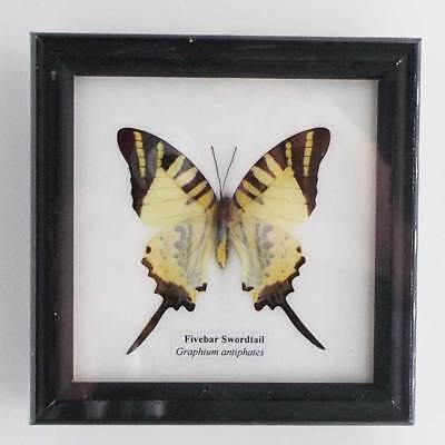 Real Butterfly specimen, Fivebar Swordtail (Graphium antiphates) in a frame