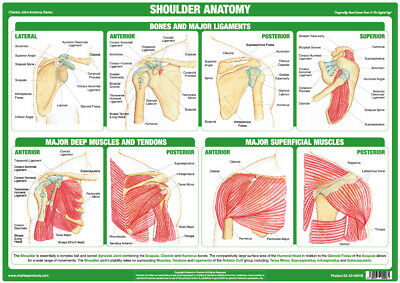 Shoulder Joint Anatomy Chart Medical Educational Human Body Poster