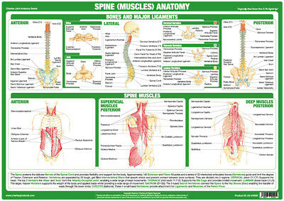 Spine Muscles Anatomy Poster Tendons Bones Physio Chartex Joint Anatomy Chart