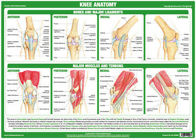 Knee Joint Anatomy Poster Human Tendons Bones Physio Chartex Joint Anatomy Chart