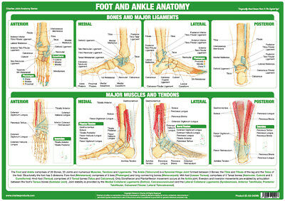Anatomy Poster Foot And Ankle Joint Medical Chart