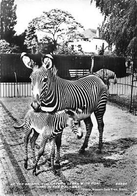 Grevy's Zebra with Foal (Born 1956 in Bristol Zoo) Wild Animals, Fauna 1961