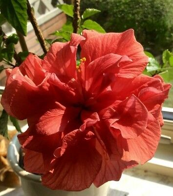10 Rare Double Red Hibiscus Seeds Giant Dinner Plate Flower Garden Exotic & 10 RARE BLACK Pink Purple Hibiscus Seeds