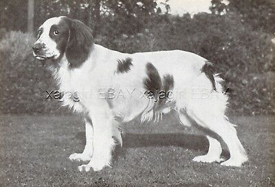 DOG Welsh Springer Spaniel (Named) Portrait, Vintage Print 1930s #2