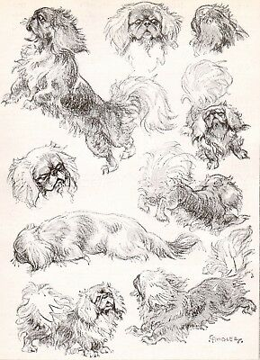 DOG Pekingese Dogs Sketched Views, Beautiful Art Print 1930s