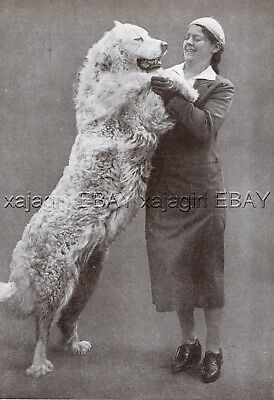 DOG Great Pyrenees Pyrenean Mountain Dog Giant Greets Owner, Vintage Print 1930s