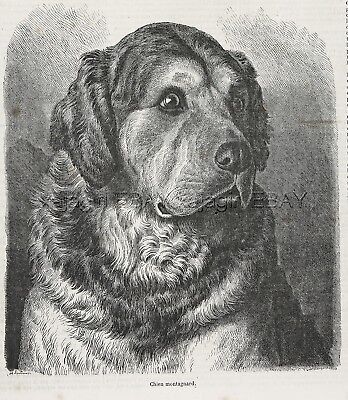Dog Great Pyrenees Mountain Dog, Beautiful Large 1870s Antique Print