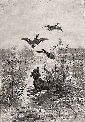 Dog Gordon Setter (Breed ID'd) Hunting Ducks in Marsh, Large 1880s Antique Print