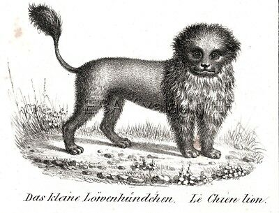 Dog Chow Chow Lion Dog As Breed Looked 170 Years Ago, 1842 Engraving Print