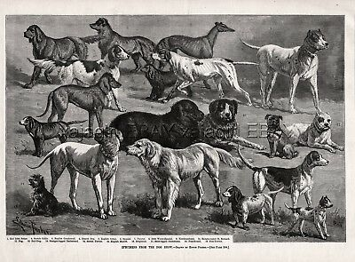 Dog Champions Great Pyrenees Pug Newfoundland Fox Terrier, 1880s Antique Print