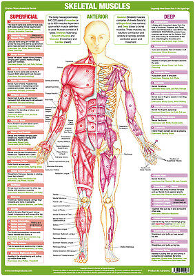 Fitness Body Building Muscle Anatomy Poster Anterior  Skeletal Muscle Chart