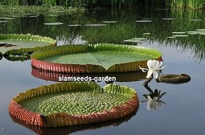 50 Seeds Victoria Amazonica Fresh Plant Pond Lily Fresh From My Garden Victoria!