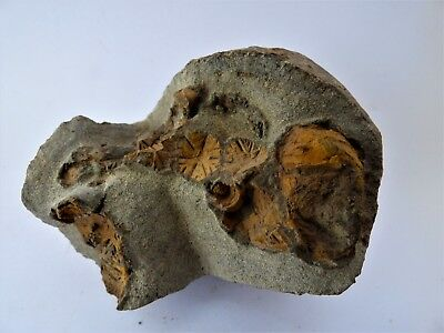 Fossil Cystoid,Morocco, Ordovician with display stand