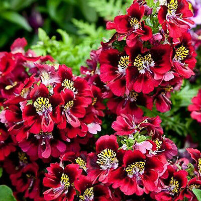 100Pcs Mixed Schizanthus Pinnatus Flower Seeds Butterfly Orchid Flower Supreme