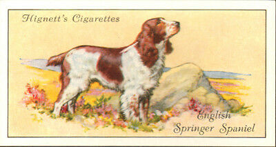 DOG Springer Spaniel (English), Small British Trading Card 1936