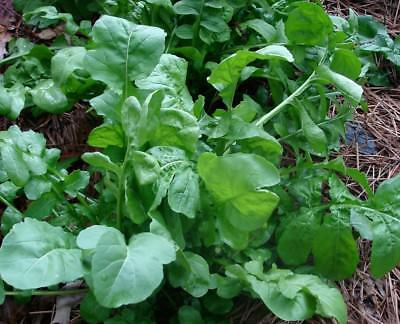 "3 Live 3 - 6"" inch Seedlings ARUGULA ROQUETTE Delicious Healthy Heirloom Rocket"