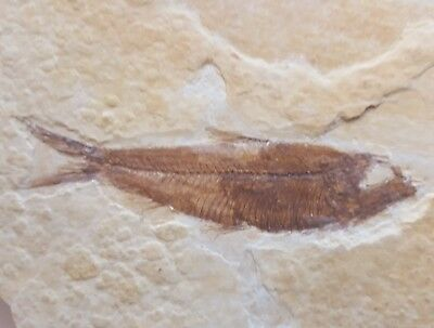 Very Nice Knightia Fossil Fish Green River Formation Wyoming Post Dinosaur Era