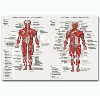 60342 Male Muscular System ANATOMICAL Ch Human Body Me Wall Print Poster AU