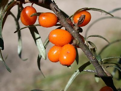 20 graines ARGOUSIER  VITAMINE A C E (Hippophae Rhamnoides)V350 SEA BERRY SEEDS