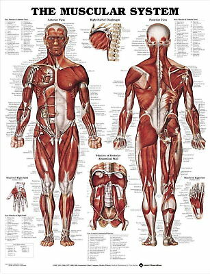 64761 THE MUSCULAR SYSTEM Wall Print Poster AU