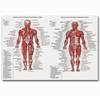 60342 Male Muscular System ANATOMICAL Ch Human Body Me Decor Wall Print Poster
