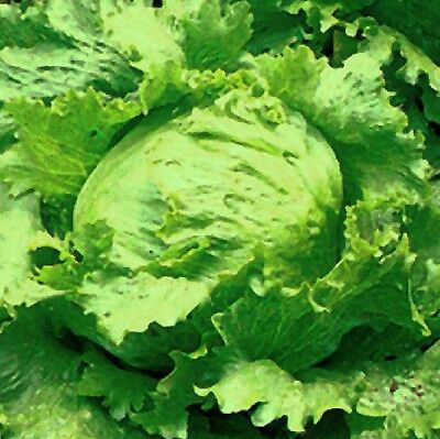 Lettuce Seeds - GREAT LAKES CRISPHEAD - Heirloom - Easy to Grow - 100+ Seeds