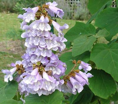 Paulownia Fortunei - 250 to 25000 Seeds - Blue Foxglove Tree - FAST Growing!