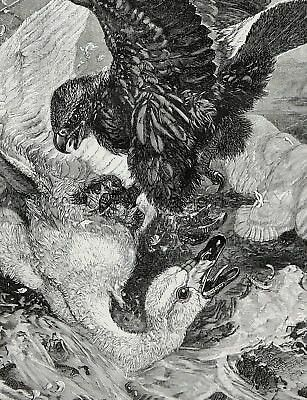 Bird Swan Vs Eagle in Fight to Death, Large 1870s Antique Engraving Print
