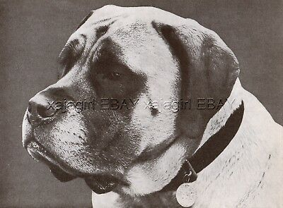 DOG Mastiff Champion (Named) Portrait, Vintage Print 1930s, Print #1