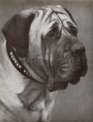 DOG Mastiff Champion (Named) Portrait, Vintage Print 1930s, Print #3