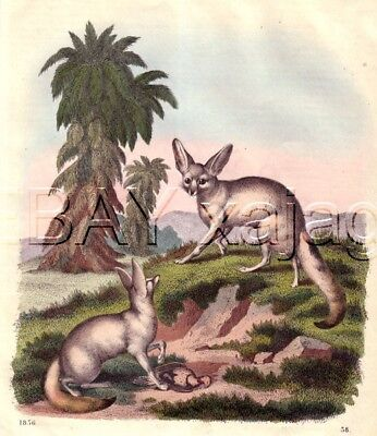Fennec Fox in Wild, RARE Antique 1850s Hand-Colored Engraving