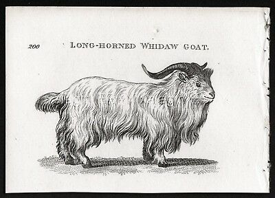 Goat Savanna Savannah Whidaw, Antique Engraving Print from 1803 (200+ Yrs Old)