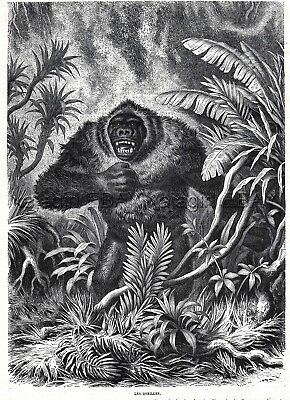 Gorilla Hunting, Beautiful Male, Large 1870s Antique Engraving Print & Article