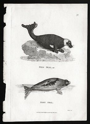 Marine Seals Harp & Harbor Rare Antique Engraving Print from 1803 (200+ Yrs Old)