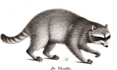 Raccoon Common North American Antique 1842 Engraving Print (170+ Years Old)