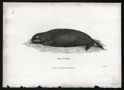 Sea Otter, Rare Antique Engraving Print from 1803 (200+ Years Old)