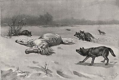 Wolf Pack Approaches White Horse in Winter, Large 1890s Antique Print & Article
