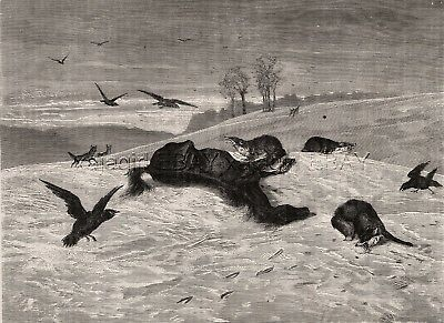 Wolves, Foxes & Crows Devour Starved Horse in Winter, Large 1880s Antique Print
