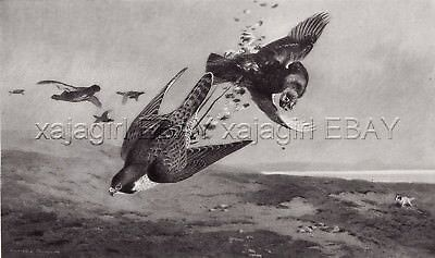 Bird Falconry, 1890s Antique Collotype Print, Archibald Thornburn