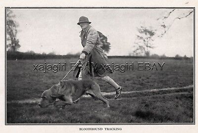 DOG Bloodhound Tracking Search Dog, Rare WWI Print c.1916 Antique Print