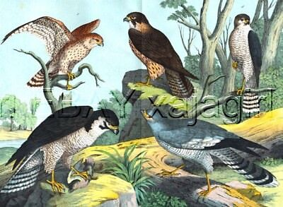 BIRD Hawks & Falcons, Antique 1880s Color Print