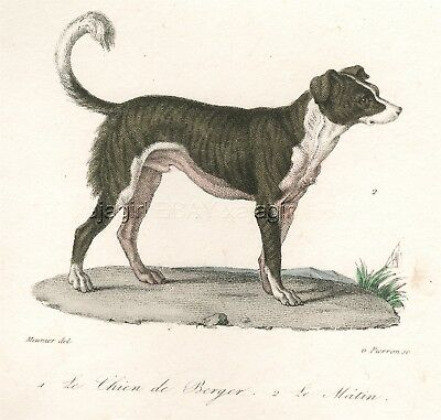 Dog Border Collie Smooth Coat Type, 1830 Hand-Colored Copper Engraving Print